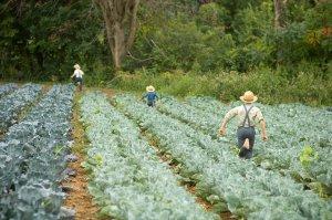 Amish Plants